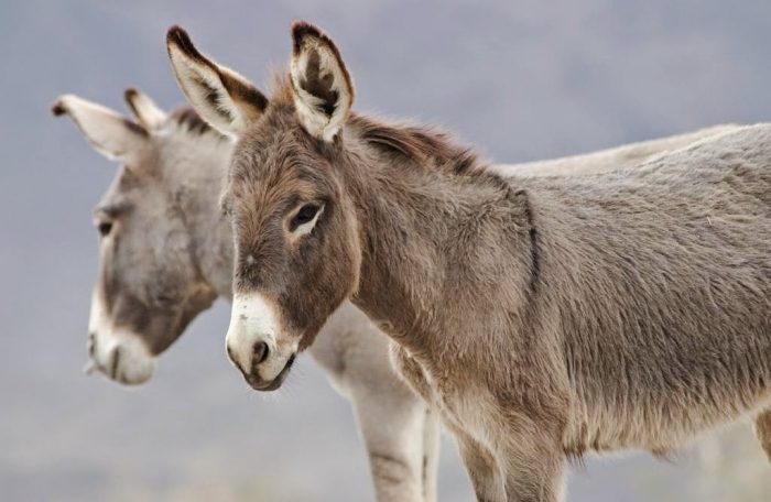 burros que hablan