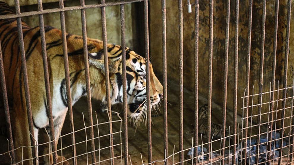soñar que eres un tigre