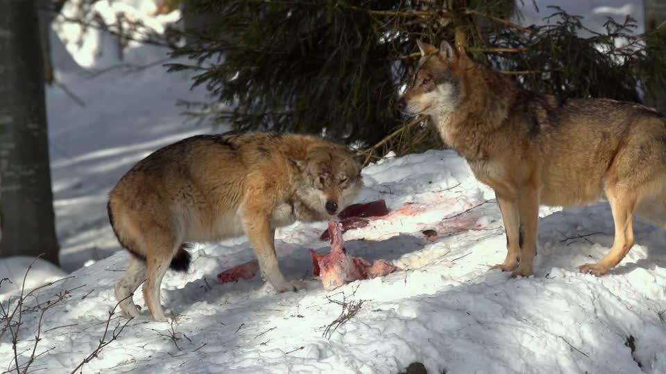 soñando con lobos atacando