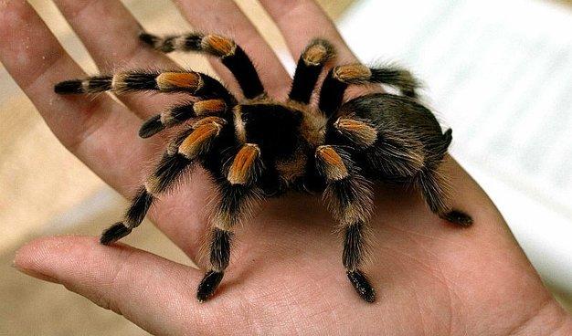 soñar araña de mascota