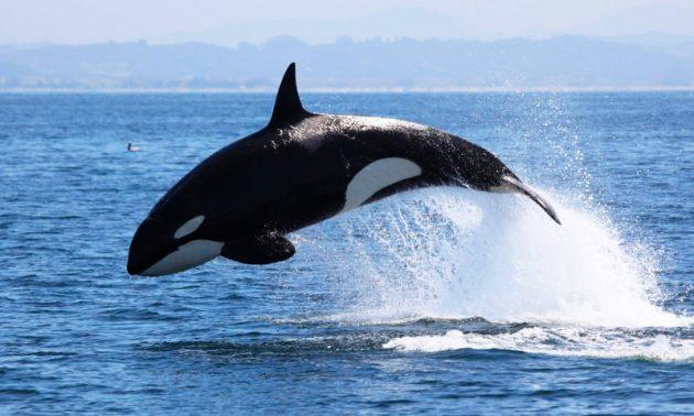 soñar con orcas imagen