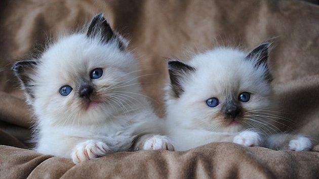 soñar con gato blanco imagen