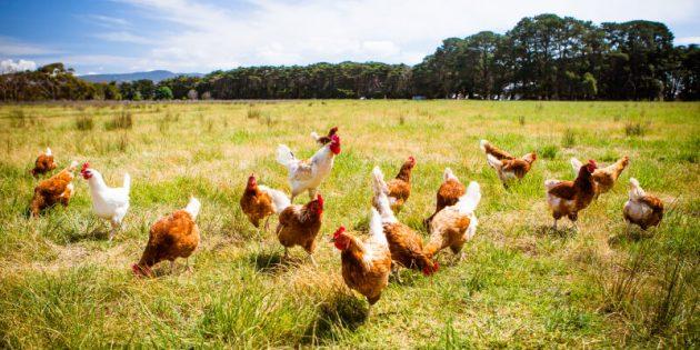soñar con pollos y aves