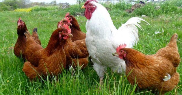 soñar con gallinas imagen 1