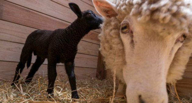 soñar con oveja negra imagen