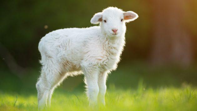 soñar con oveja blanca imagen