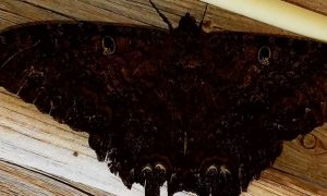 Soñar con Mariposas Negras
