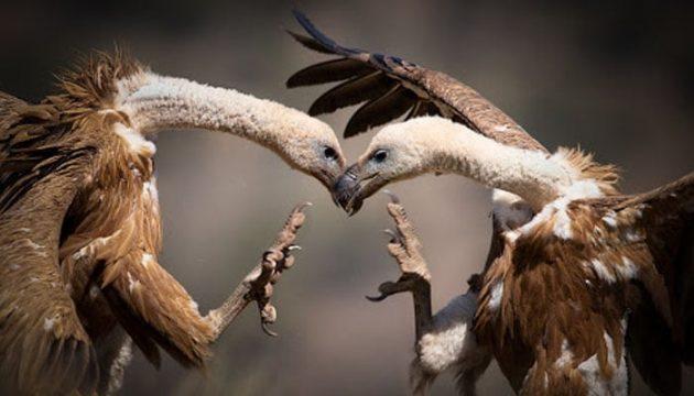 aves peleando