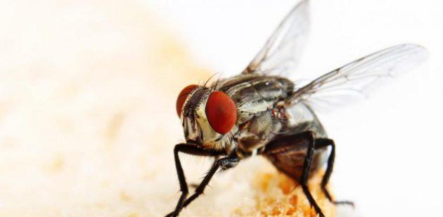 soñar con moscas imagen