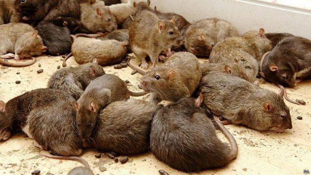 soñar con ratones imagen